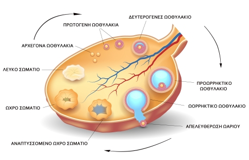 Ωρίμανση ωοθυλακίων